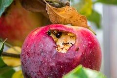 Apple z insektami Zdjęcie Royalty Free