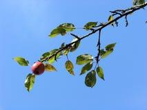Apple-Zweig Stockbilder