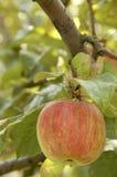 Apple3 Imagem de Stock Royalty Free