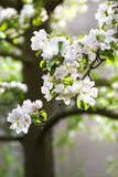 Appleblossom on appletree in spring Stock Image