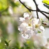 Appleblossom in de lente Royalty-vrije Stock Fotografie