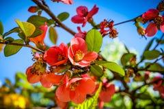 Appleblossom en duidelijke blauwe hemel stock afbeeldingen