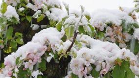 Appleblossom  after sudden snowfall in april. Blossoming apple tree after sudden snowfall in April stock video