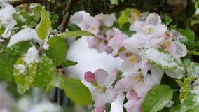 Appleblossom  after sudden snowfall in april. Blossoming apple tree after sudden snowfall in April stock footage
