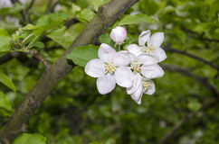 AppleBlossoms Royalty Free Stock Photo