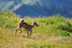Appled fawn in the wild Royalty Free Stock Photos