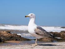 Appledore Gul sulle rive dell'Oceano Atlantico fotografia stock libera da diritti