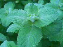 Applemint herb Royalty Free Stock Photos
