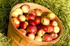 Apples. A bushel of apples stock image