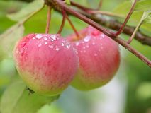 Apples. Two red apples in a tree Royalty Free Stock Photography
