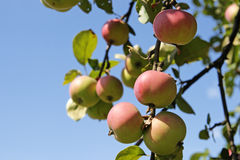 Apples. Red apples hang on a branch against the blue sky Stock Image