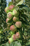 Apples. Fuitage of the columnar type apple tree Stock Image