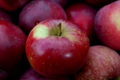 Apples. Fruit box, freshly collected from trees Stock Image