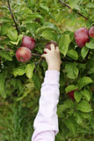 Apples 13 Royalty Free Stock Image