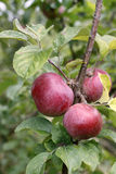 Apples 14 Royalty Free Stock Photo