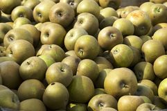 Apples. Autumn harvest of ripe yellow apples Stock Photo