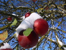 Apples. Red apples and green leaves on apple-tree covered with snow Royalty Free Stock Photos