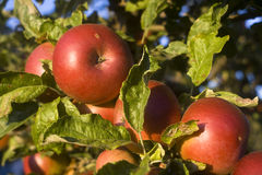 Apples. A photo of some apples on a branch Royalty Free Stock Photos