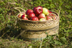 Apples. The big basket with red ripe apples royalty free stock photo