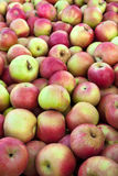 Apples. Big bunch of picked Jonagold cultivar apples Stock Images