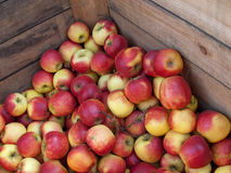 Apples. New crop of apples in a wooden crate Stock Images
