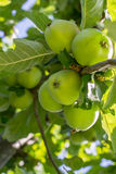 Apple tree. Apples growing on a tree Royalty Free Stock Photo