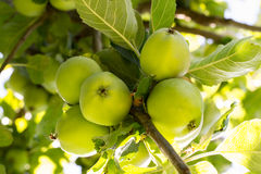 Apple tree. Apples growing on a tree Royalty Free Stock Photos