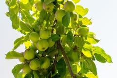 Apple tree. Apples growing on a tree Stock Image