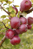 Apples 26 Royalty Free Stock Photo