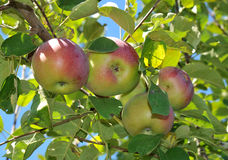 Apples. Luscious, fresh red apples ready to be picked off the tree stock photo