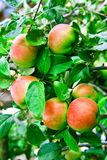 Apples. Red apples on apple tree branch Stock Photo