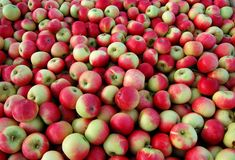 Apples. Many freshly picked cox apples waiting to be processed and packaged Royalty Free Stock Images