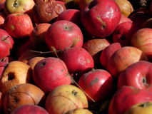Apples. A mass of red and yellow apples Royalty Free Stock Image