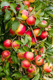 Apples. Red apple on branch with green leaf Royalty Free Stock Photography