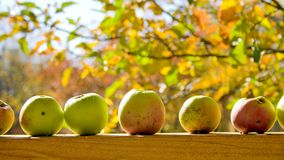 Apples. Sunny autumn day in a garden Royalty Free Stock Photo