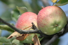 Apples. Hanging from tree Stock Photo