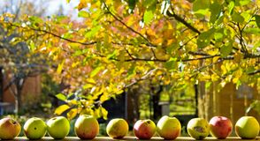 Apples. Sunny autumn day in a garden Royalty Free Stock Photography