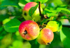 Apples. Juicy red apples on a tree Stock Photo