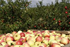 Apples. Fresh apples in a garden. Autumn Royalty Free Stock Images