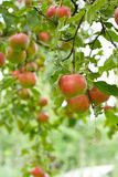 Apples. Red apples on tree branches Royalty Free Stock Image
