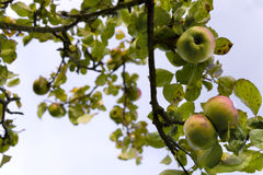 Apples. Bramley apples on tree in orchard in late summer Royalty Free Stock Photo