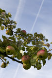 Apples. Bramley apples on tree in orchard in late summer Stock Photos