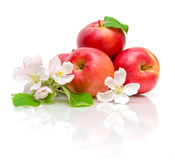 Apples and apple flowers Stock Image