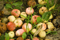 Apples, apple, fruit, red, background, fresh, autumn, fall. Summer apples on the ground and on the branches Stock Photo