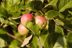 Apples, apple, fruit, red, background, fresh, autumn, fall. Summer apples on the ground and on the branches Stock Image