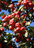 Apples on the apple tree. Ripe red apples on a branch on a background of the blue sky Royalty Free Stock Photography