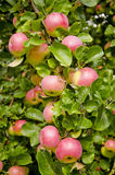 Apples on the apple-tree Stock Image