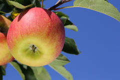 Apples on an apple tree against a blue sky Royalty Free Stock Photography