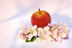 Apples and apple-tree blossoms Stock Images