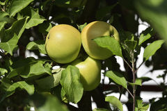 The apples on apple tree branch Royalty Free Stock Photo